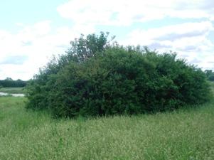 skarby_buskplantering